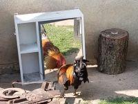 Kogut walczy z własnym odbiciem w lustrze